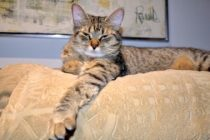 cat lost in Boisbriand