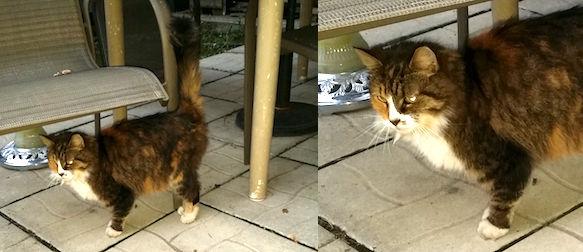 cat found Ahuntsic