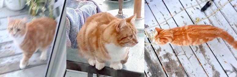 cat found in Île Perrot