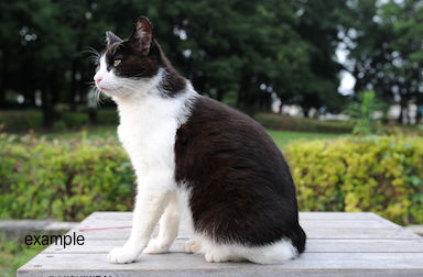 Black And White Cat Found In N D G Family Found