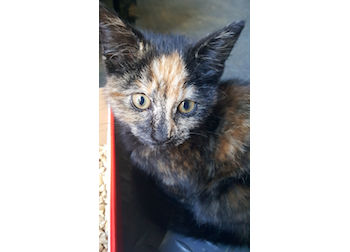 kitten found in Ste Angele-de-Monnoir