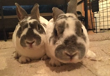 2 rabbits found Ile Perrot