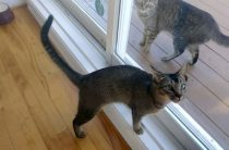 Abyssinian cat lost in Lavaltrie