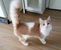 cat found in Joliette