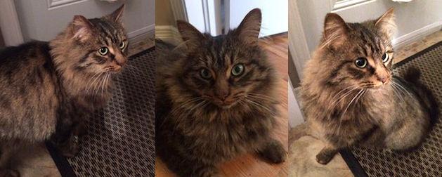 cat found in Le Gardeur