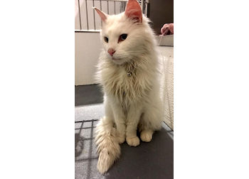 cat found in Mascouche