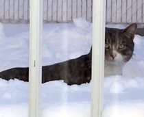 cat found in St-Leonard