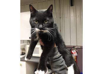 cat found in Ste Anne de Bellevue