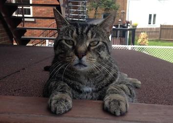 cat lost in LaSalle