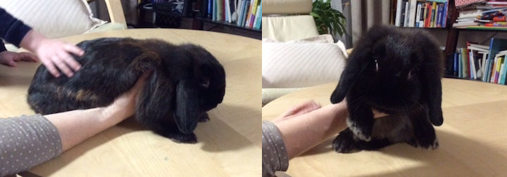 rabbit found in Lachine