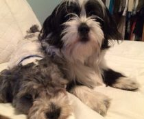 2 dogs lost in Dorval