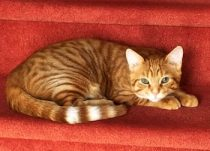cat lost in Joliette