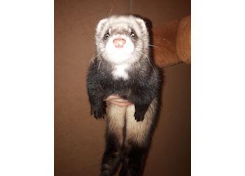ferret found in Rosemont