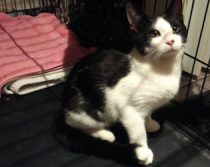 kitten found in Blainville