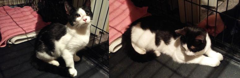 kitten found in Blainville