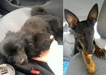 2 dogs found Laval