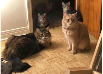 5 cats lost in Ste Thérèse