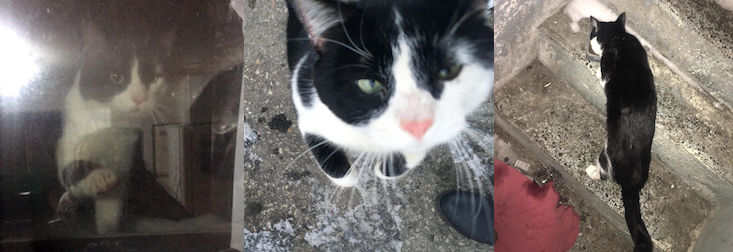 cat found in Boisbriand