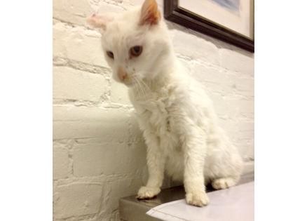 cat found in Westmount