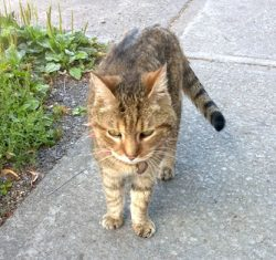 cat lost in Ahuntsic
