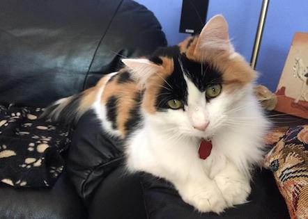 cat lost in Laval