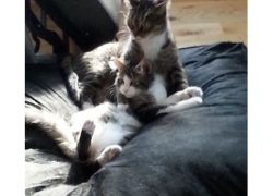2 cats lost in Trois Rivieres