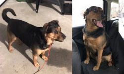 2 dogs found Dorval