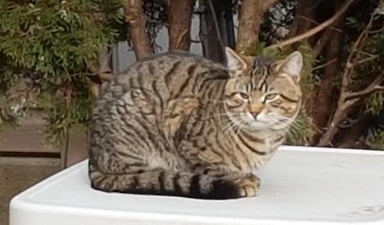 cat found in Ahunstic
