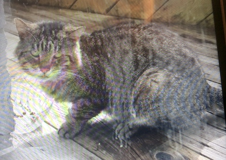 cat found Chomedey t
