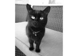 cat-found-Pointe-Claire