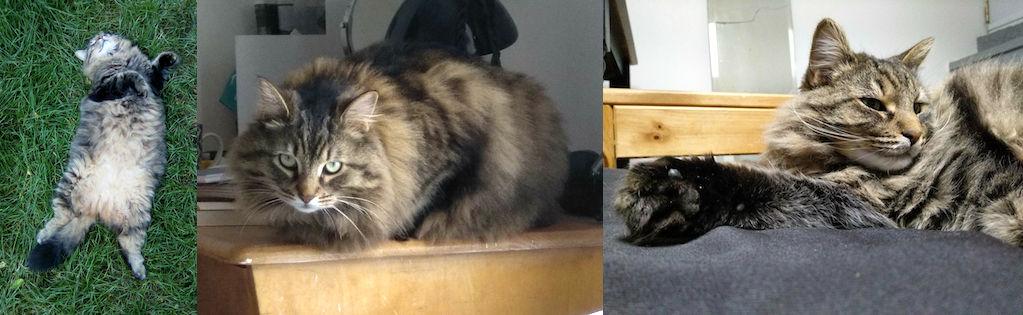 cat lost Ahuntsic t