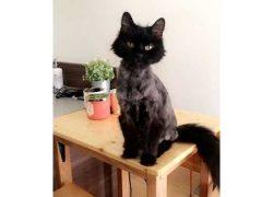 cat lost in Rosemont