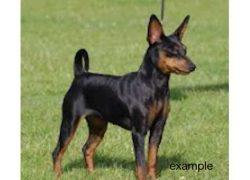 dog-lost-Rosemont