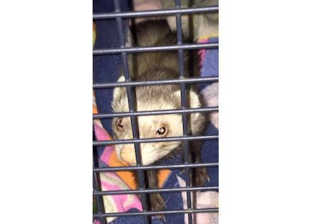 ferret found in Verdun