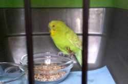 Budgerigar found in Ste-Anne-de-Bellevue