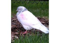 bird found in Vaudreuil