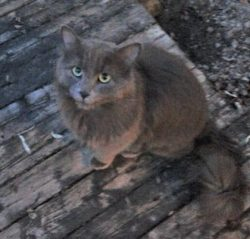Grey cat found in Deux-Montagnes