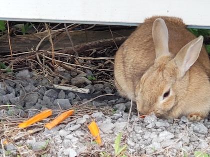 rabbit found Prevost