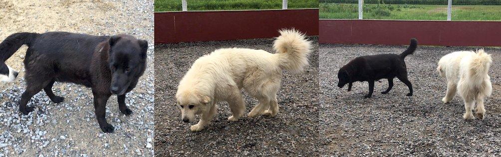 2 dogs found Ste Anne