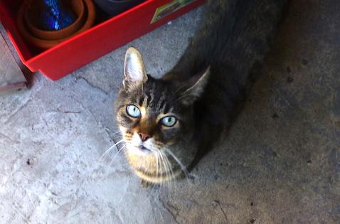 cat found Ahuntsic t