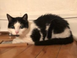 Black and white cat found in Rosemont-La-Petite-Patrie
