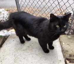 Black cat found in Ville-Marie