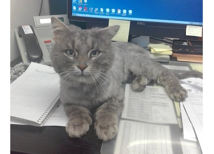 cat found in Ville Marie