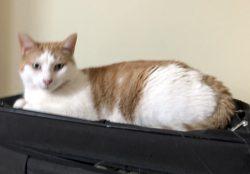cat lost in Quebec