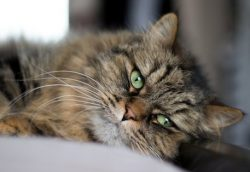 cat lost in St Jean sur Richelieu