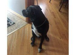 dog found Rosemont
