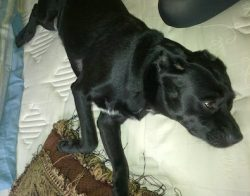 dog lost Lac Maille blk