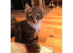kitten found in Rosemont