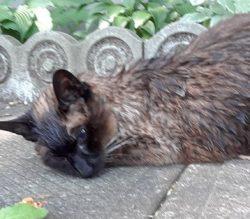 Chat  Siamois trouvé dans Ahuntsic-Sault-aux-Recollets