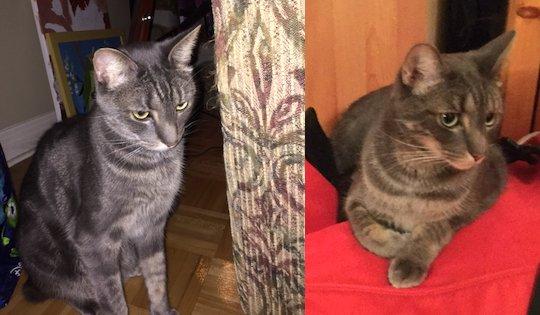 cat lost in Ile Bizard